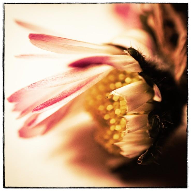 A macro photograph of a daisy.